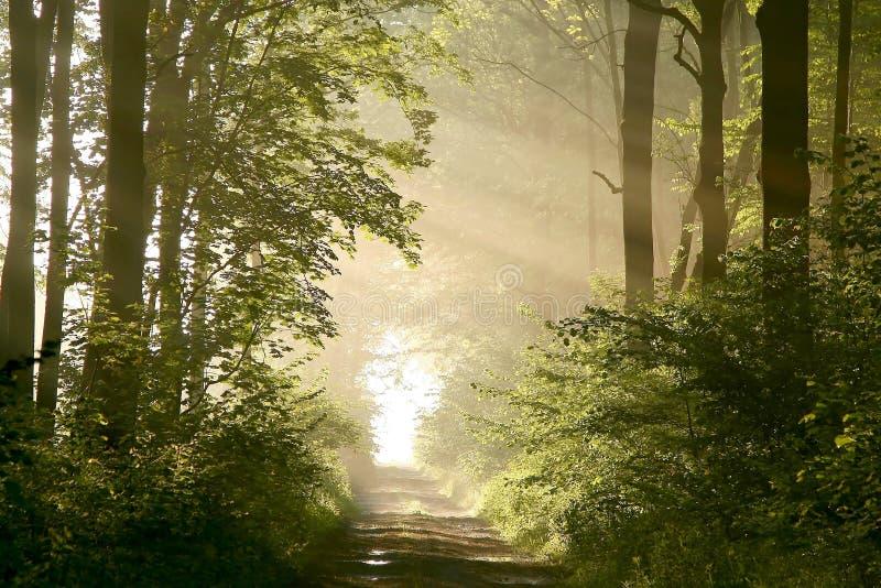 De bosweg van de lente met ochtendzonnestralen stock afbeelding