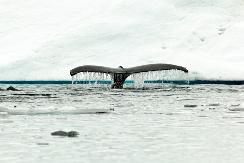 De bot die van de de walvisstaart van de gebochelde in Antarctisch water duiken stock fotografie