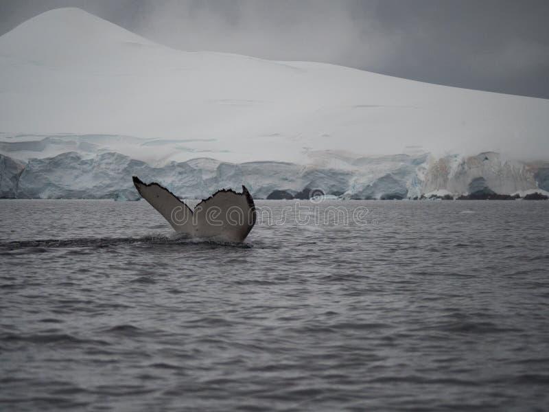 De Bot van de gebocheldestaart met een Gletsjer op de Achtergrond stock foto