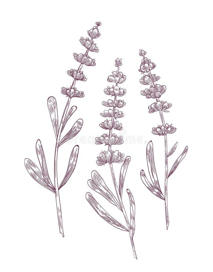 De botanische die tekening van lavendel bloeit en verlaat hand met contourlijnen op witte achtergrond wordt getrokken Het schitte vector illustratie