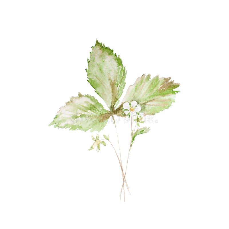 De botanische schets van de waterverfillustratie van aardbei met bloemen en groene bladeren isoleerde geschilderde kruiden op wit stock fotografie