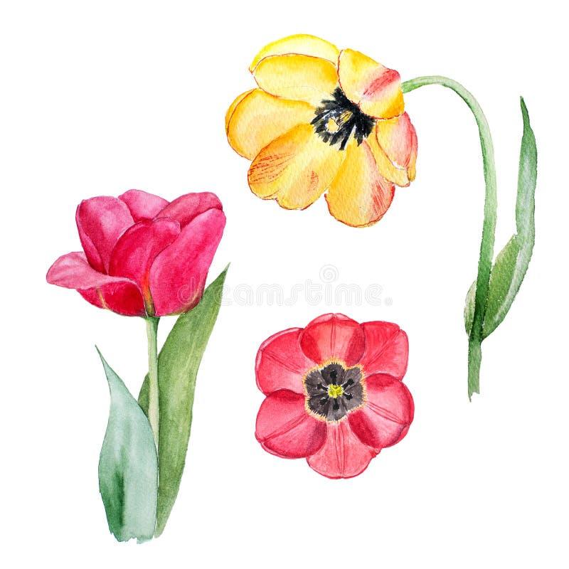 De botanische schets van de waterverfillustratie van gele en rode tulp bloeit op witte achtergrond