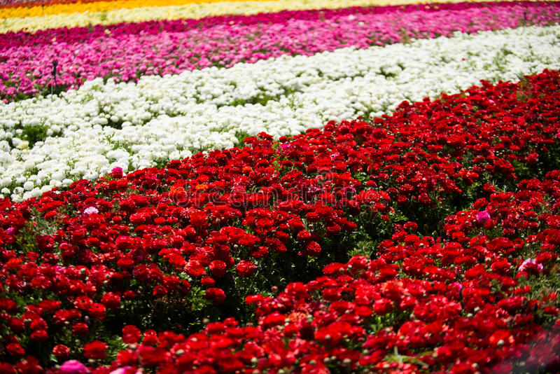 De boterbloem bloeit gebied royalty-vrije stock foto