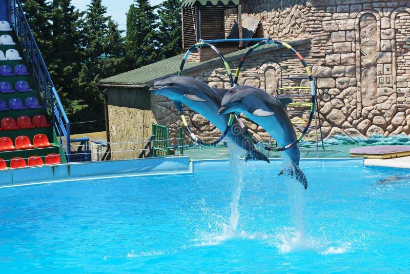 De Bottlenosedolfijnen zijn grote dolfijnen, of bottlenose dolfijnen lat Tursiopstruncatus die door hoepels bij het bevel springe royalty-vrije stock foto's
