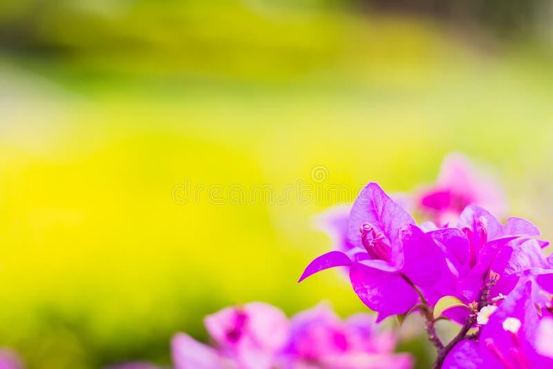De bougainvillea bloeien purpere kleur royalty-vrije stock afbeeldingen