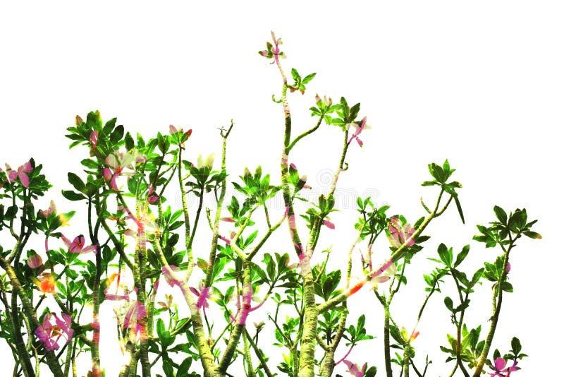 De bovenkant van de Frangipaniboom die op witte achtergrond wordt geïsoleerd stock foto's
