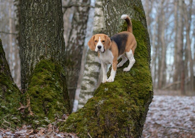De Brak in het de lentehout beklimt de boom stock afbeeldingen