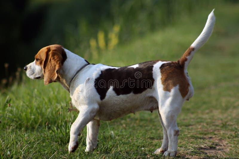 De brak van de hond royalty-vrije stock fotografie