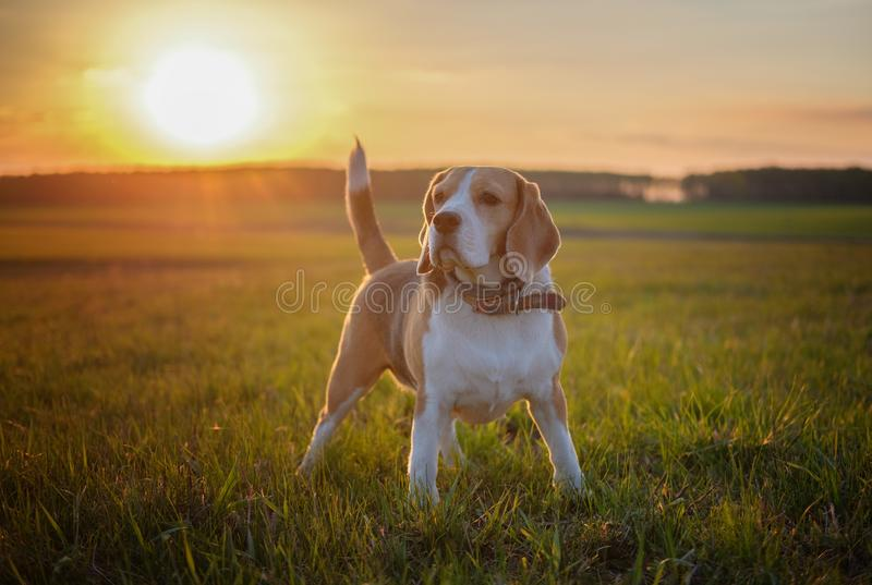 De Brak van het hondportret op een de lentegang op een gebied stock afbeelding