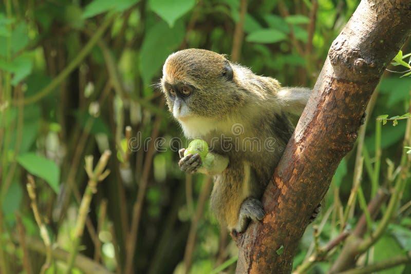 De Brazza猴子 免版税库存照片
