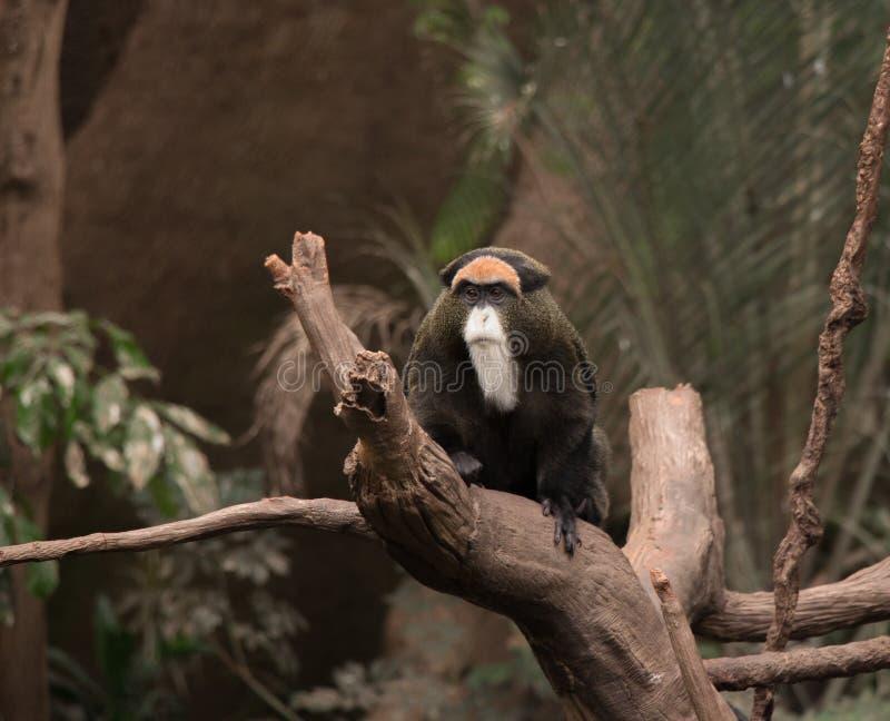 A De Brazza Monkey. A dapper De Brazza Monkey. (Cercopithecus neglectus royalty free stock images