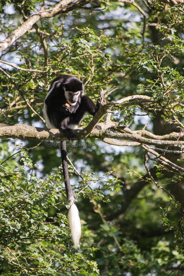De Brazza monkey eating in treetops Cercopithectus neglectus. De Brazza monkey in treetops Cercopithectus neglectus royalty free stock images