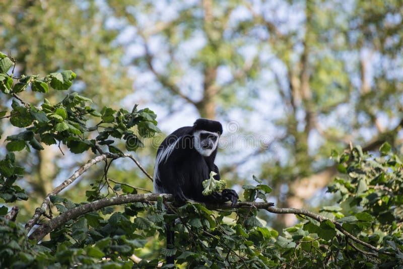 De Brazza monkey eating in treetops Cercopithectus neglectus. De Brazza monkey in treetops Cercopithectus neglectus stock photography