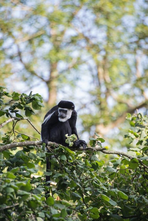 De Brazza monkey eating in treetops Cercopithectus neglectus. De Brazza monkey in treetops Cercopithectus neglectus stock photo