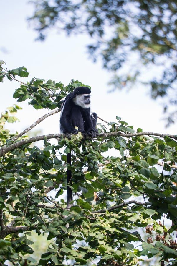 De Brazza monkey eating in treetops Cercopithectus neglectus. De Brazza monkey in treetops Cercopithectus neglectus royalty free stock photo