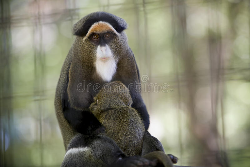 De Brazza's Monkey. (Cercopithecus neglectus). Old World monkeys locally known as swamp monkeys, often found in wetland areas. Dist. central Africa stock image