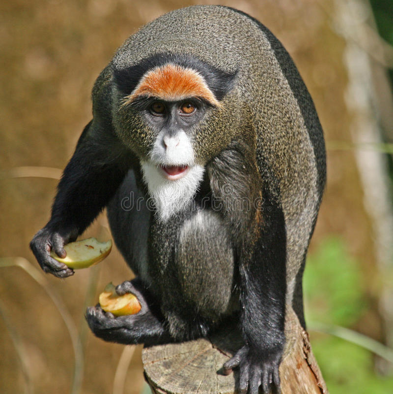 De Brazza's Monkey. On a fence stock image
