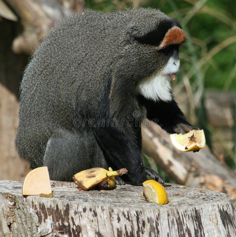 De Brazza's Monkey 2. De Brazza's Monkey animal eating fruit royalty free stock images