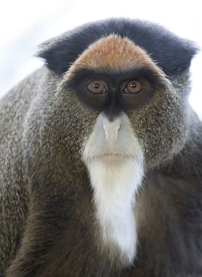De Brazza's Monkey. Close up of a De Brazza's Monkey royalty free stock photo