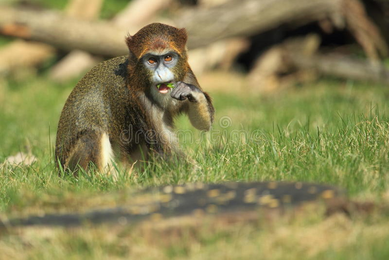 De Brazza's monkey. Juvenile in the grass stock photos