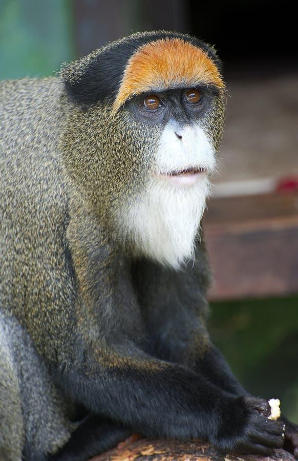 De Brazza's Monkey. Is looking around stock photos