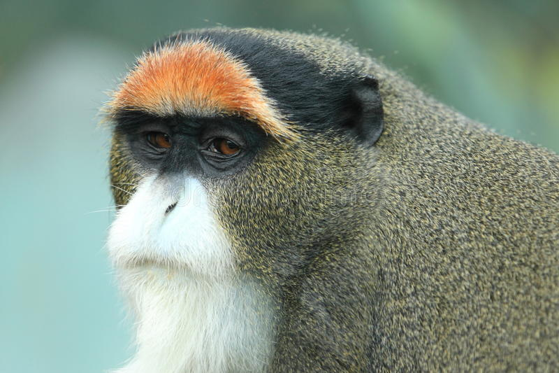 De Brazza's monkey. The detail of De Brazza's monkey royalty free stock photos