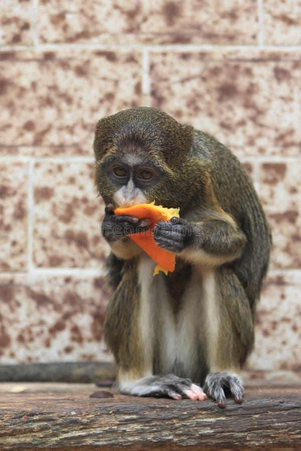 De Brazza's monkey. Juvenile eating the orange stock photo