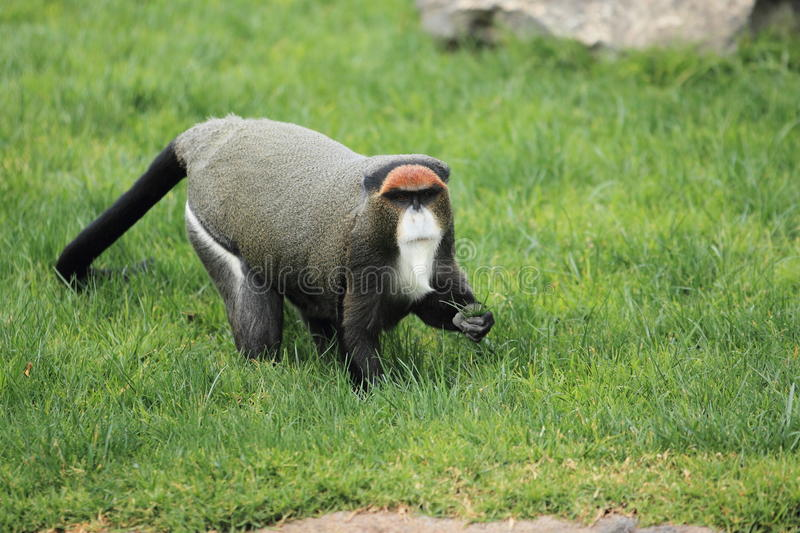 De Brazza's monkey. In the grass royalty free stock image