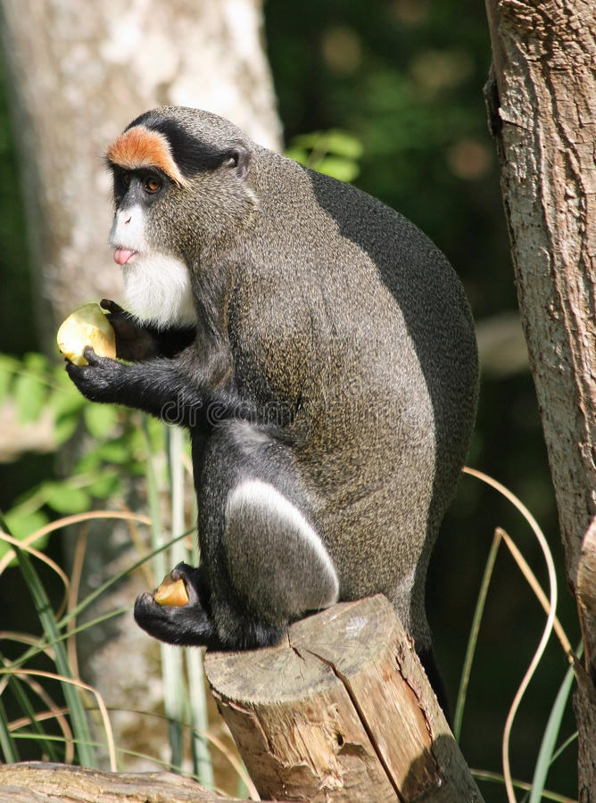 De Brazza's Monkey 4. De Brazza's Monkey animal eating fruit stock image