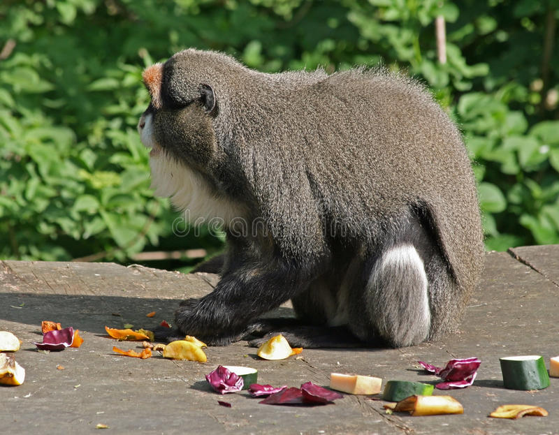 De Brazza's Monkey 5. De Brazza's Monkey animal eating fruit royalty free stock photo