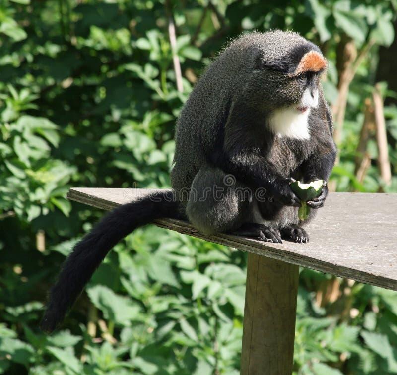 De Brazza's Monkey 6. De Brazza's Monkey animal eating fruit royalty free stock photography