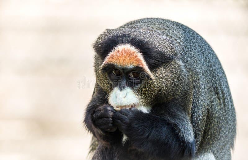 De Brazza`s Monkey, an attractive primate with distinctive fur. De Brazza`s Monkey, Cercopithecus neglectus, an attractive primate with distinctive fur.  Animal stock photo