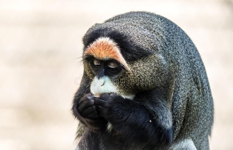De Brazza`s Monkey, an attractive primate with distinctive fur. De Brazza`s Monkey, Cercopithecus neglectus, an attractive primate with distinctive fur.  Animal royalty free stock photos