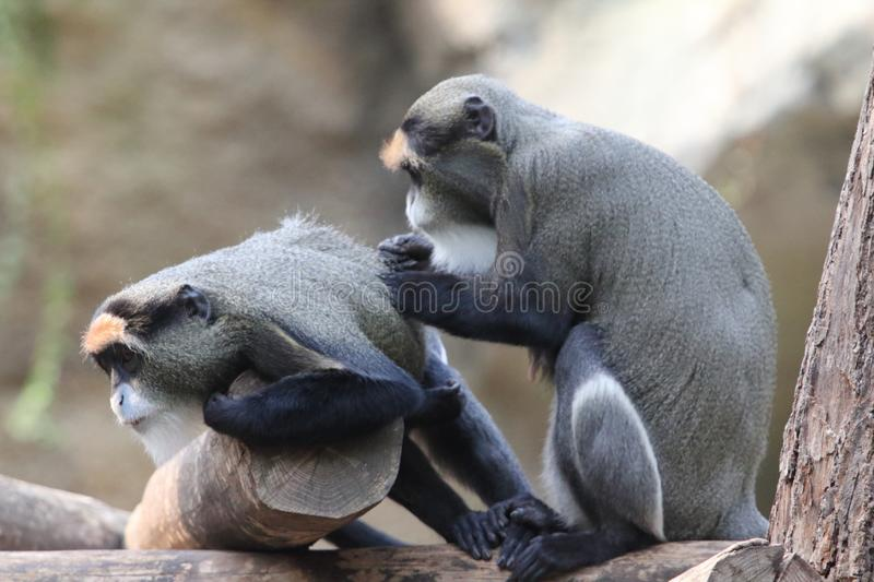 De Brazza`s monkey Cercopithecus neglectus. The De Brazza`s monkey Cercopithecus neglectus is an Old World monkey endemic to the wetlands of central Africa. It royalty free stock images