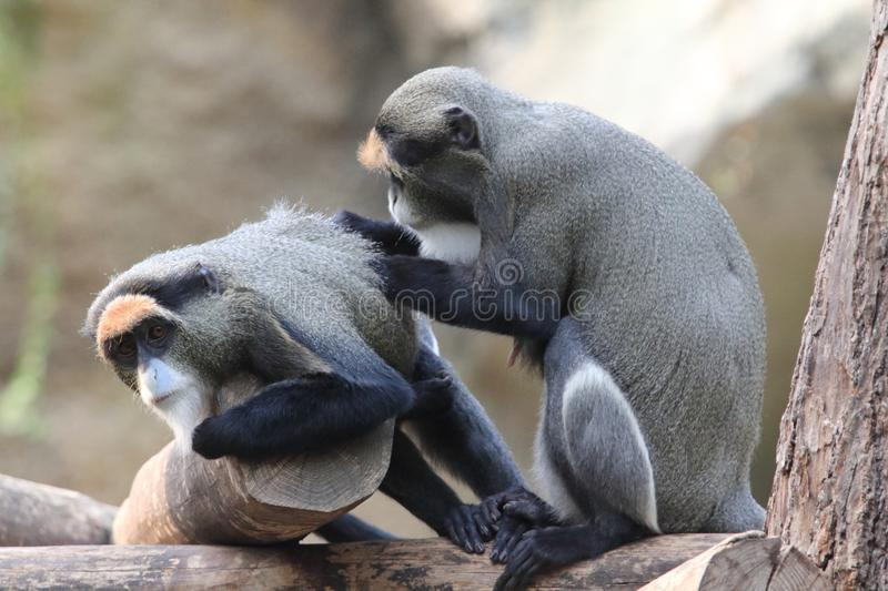 De Brazza`s monkey Cercopithecus neglectus. The De Brazza`s monkey Cercopithecus neglectus is an Old World monkey endemic to the wetlands of central Africa. It royalty free stock image