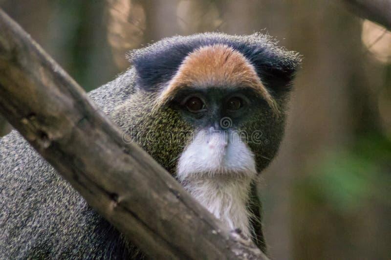 De Brazza`s monkey. Cercopithecus neglectus. Portrait at the San Diego zoo stock photography