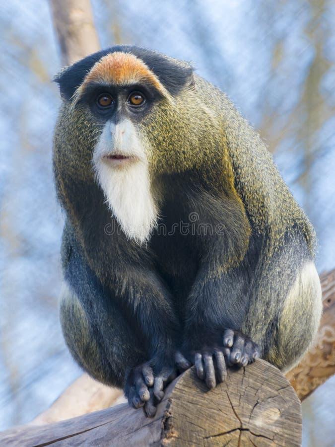 De Brazza`s monkey. Cercopithecus neglectus sitting on a tree royalty free stock photography