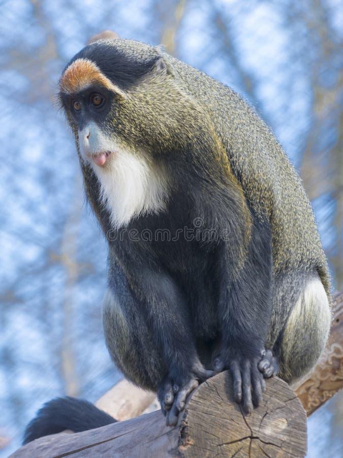 De Brazza`s monkey. Cercopithecus neglectus sitting on a tree stock photo