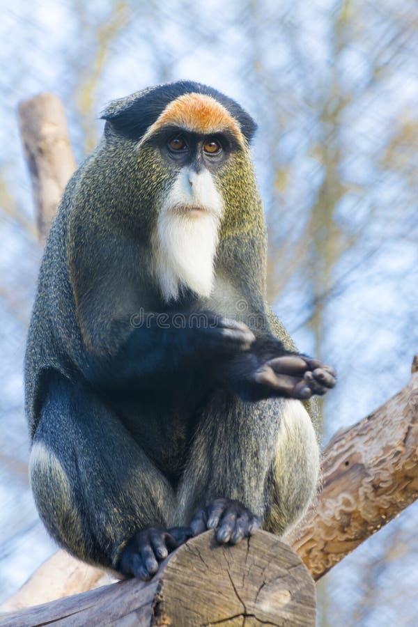 De Brazza`s monkey. Cercopithecus neglectus sitting on a tree royalty free stock photo