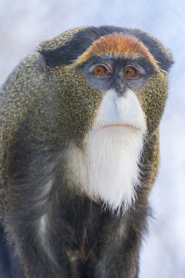 De Brazza`s monkey. Cercopithecus neglectus sitting on a tree royalty free stock photos