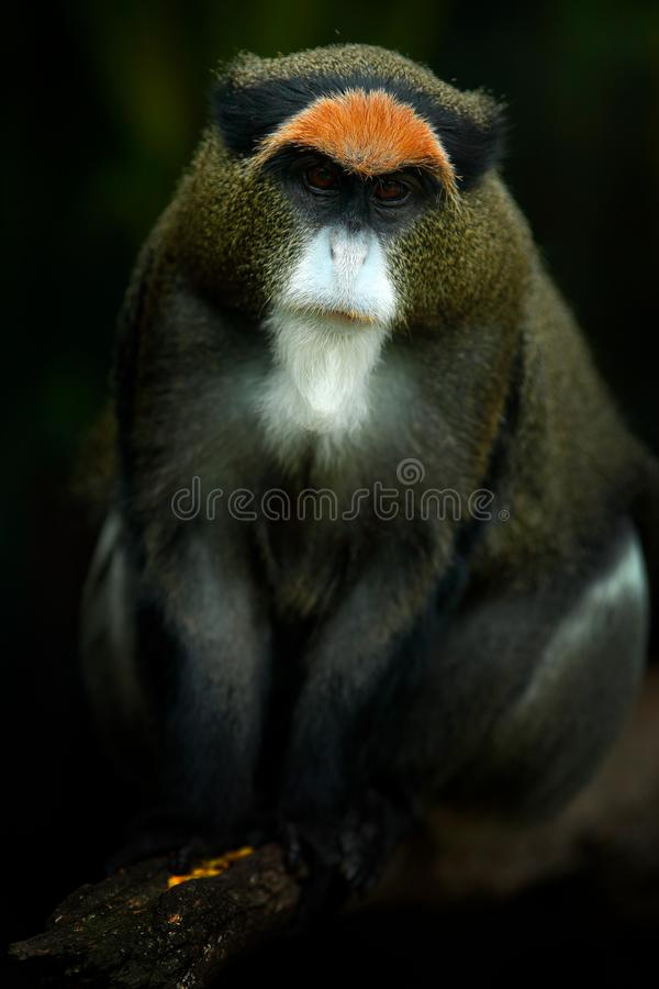 De Brazza`s monkey, Cercopithecus neglectus, sitting on tree branch in dark tropic forest. Animal in nature habitat, in forest. D royalty free stock photo
