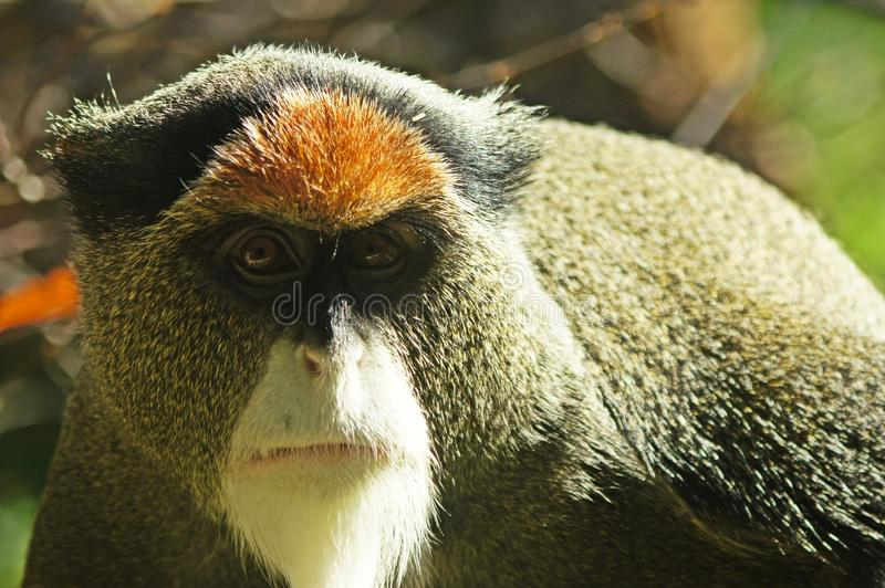 De Brazza's Monkey. A close-up portrait of a De Brazza's Monkey stock photo