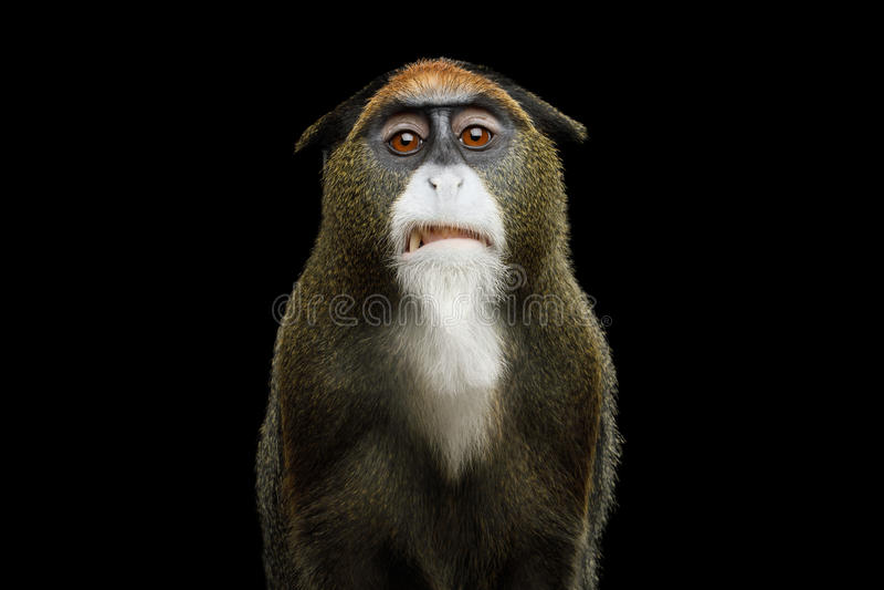 De Brazza`s Monkey. Close-up Portrait of Disgust De Brazza`s Monkey on Isolated Black Background stock photo