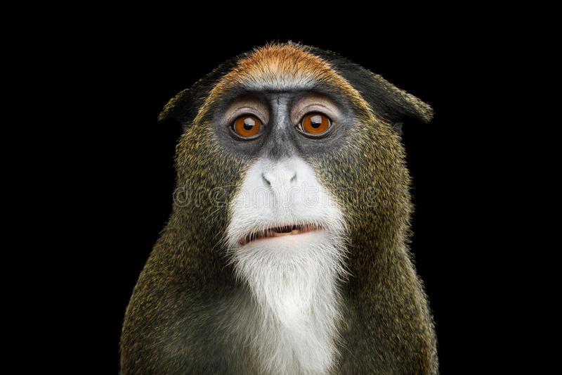 De Brazza`s Monkey. Close-up Portrait of Funny De Brazza`s Monkey on Isolated Black Background royalty free stock photography