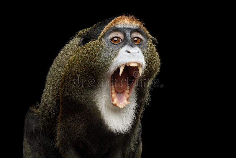 De Brazza`s Monkey. Close-up Portrait of Yawn De Brazza`s Monkey on Isolated Black Background, show teeth royalty free stock photos