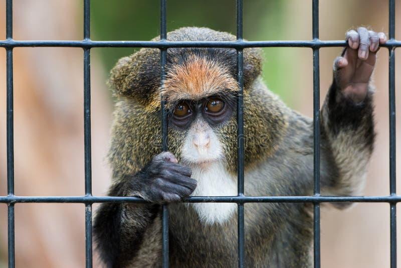 De Brazza's Monkey. Curious Young De Brazza's Monkey Peering Through Cage Bars stock photography