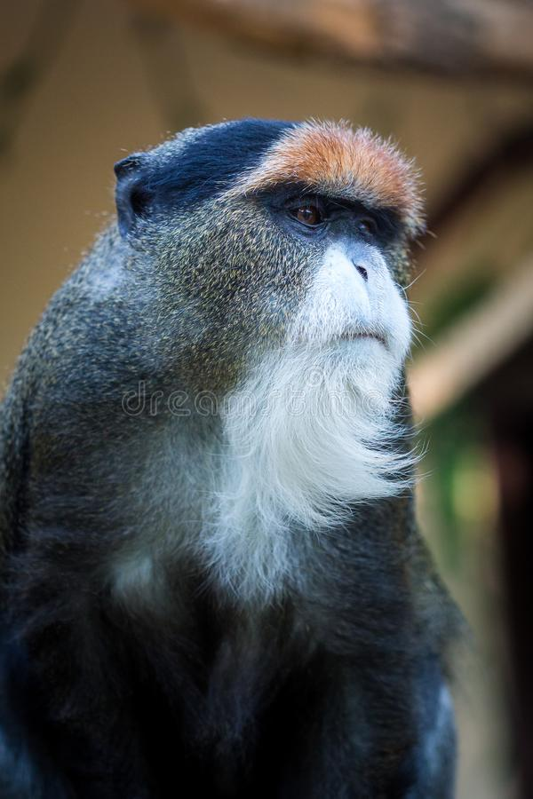 De Brazza`s monkey. Cute little monkey with long white beard stock photos