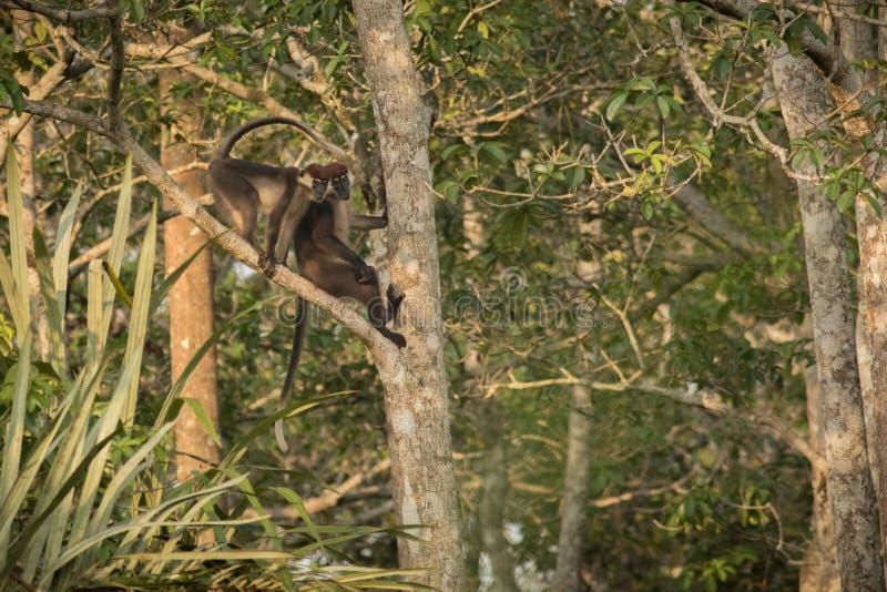 De Brazza`s Monkey/De Brazza`s Monkey/congo. /Africa royalty free stock image