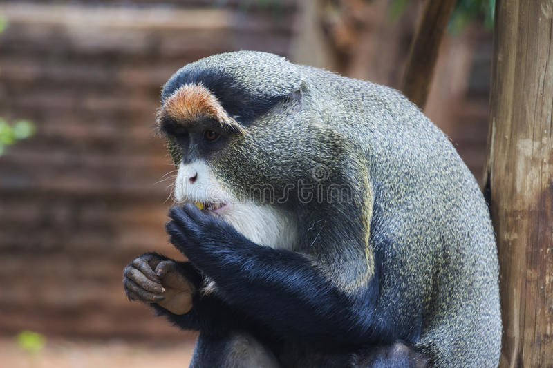 De Brazza's Monkey Eating. A Piece of Fruit stock images