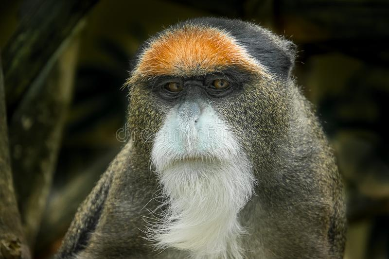 The De Brazza`s monkey, an Old World monkey endemic to the wetlands of central Africa. It is one of the most widespread African primates that live in forests stock photography